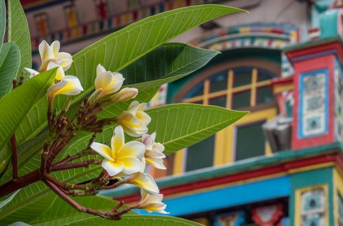 Little India Flower Singapour